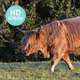 Scottish Highland Cow - VideoHive Item for Sale