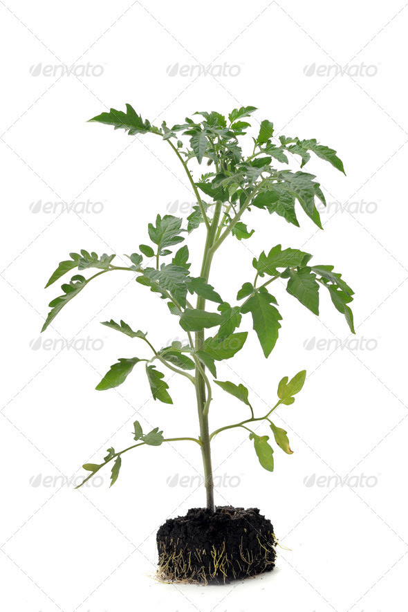 Tomato seedling - Stock Photo - Images