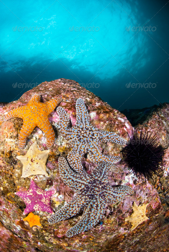Starfish on Reef - Stock Photo - Images