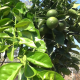 Small Orange Tree 2 - VideoHive Item for Sale