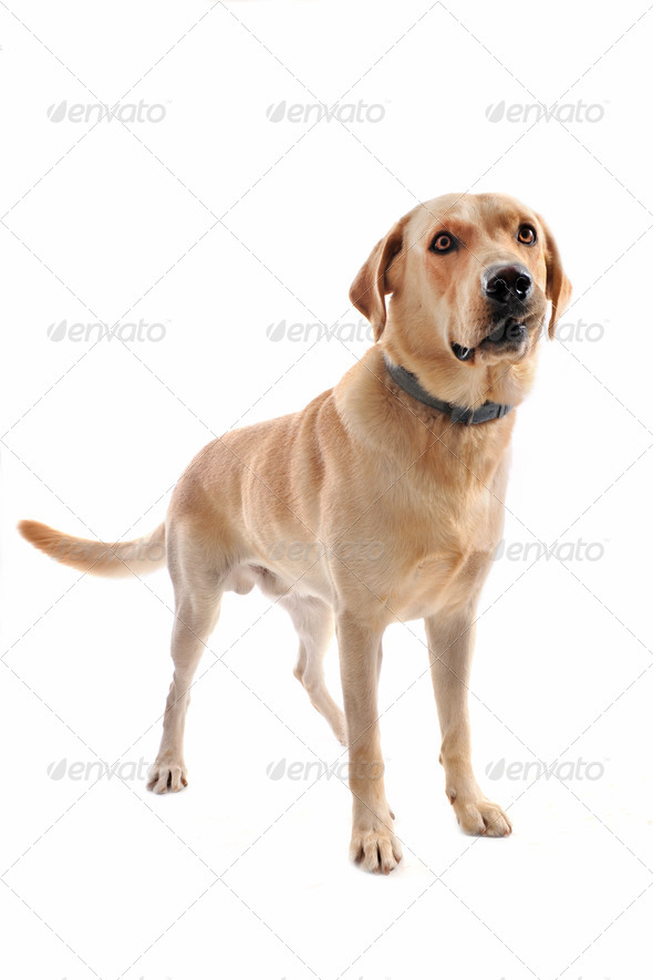 labrador retriever - Stock Photo - Images