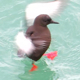 Black Guillemot Take Shower On Sea - VideoHive Item for Sale