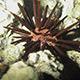 Sea Urchin. - VideoHive Item for Sale