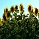 Sunflowers 3 - VideoHive Item for Sale