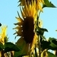 Sunflowers 4 - VideoHive Item for Sale