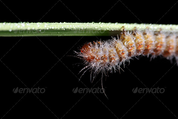 Fall Webworm - Stock Photo - Images