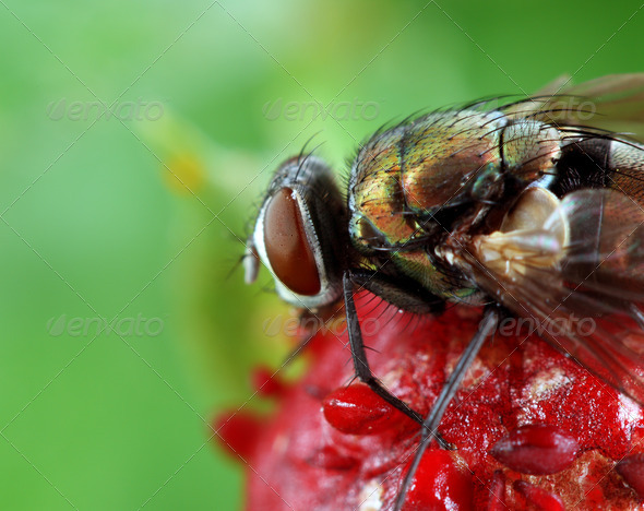Fly on Wild Strawberry - Stock Photo - Images