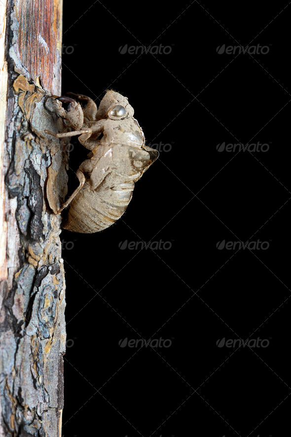 Cicada Shell - Stock Photo - Images