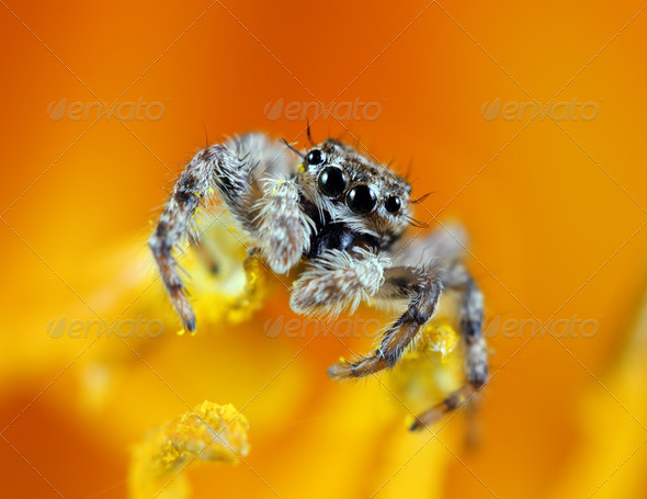 Jumping Spider - Stock Photo - Images