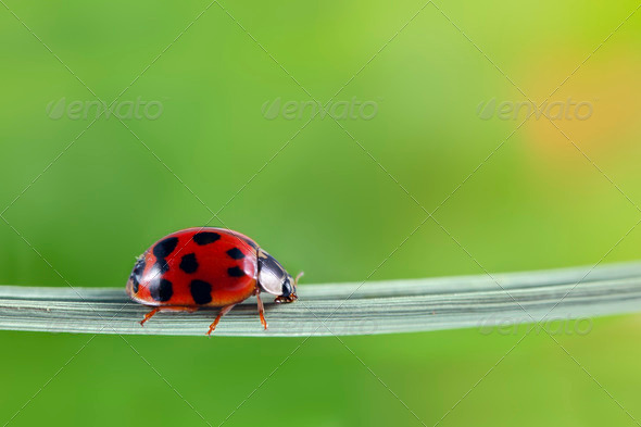 Ladybug - Stock Photo - Images
