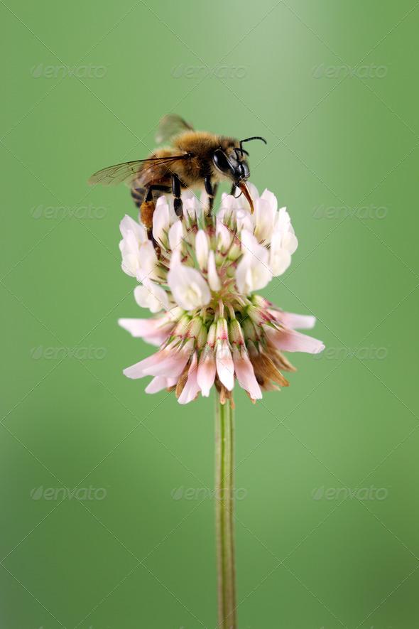 Honey Bee - Stock Photo - Images