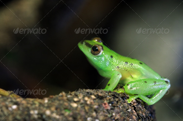 Glass Frog - Stock Photo - Images