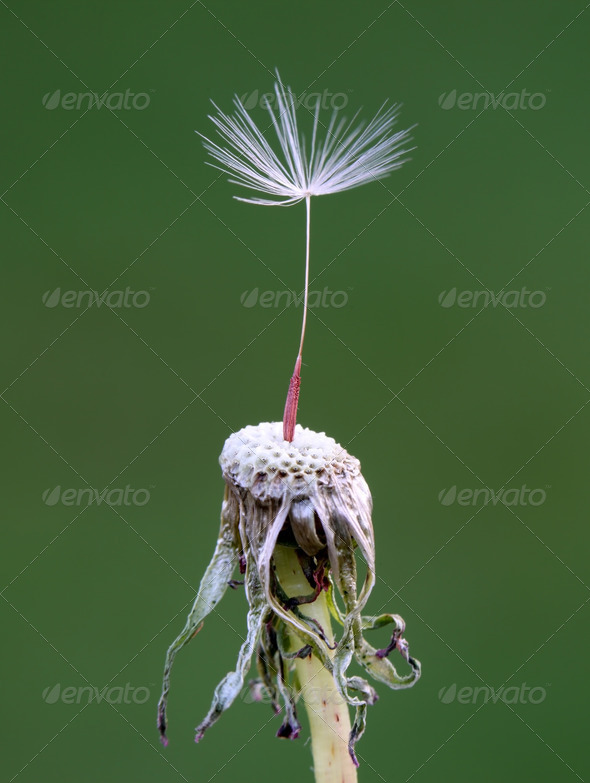 Dandelion Seed - Stock Photo - Images