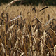 The Wheat Field (5 pack) - VideoHive Item for Sale