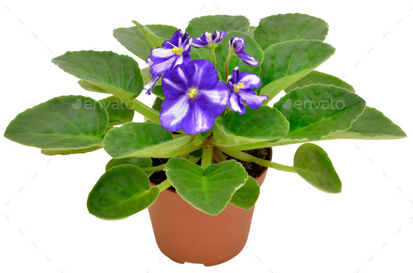 Violet flower - Stock Photo - Images