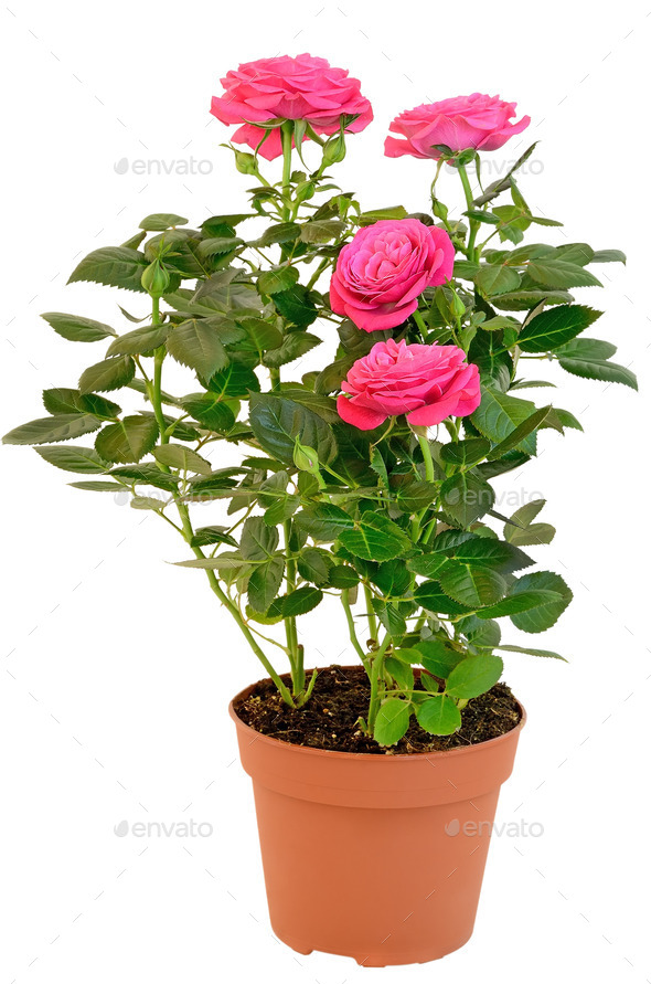 Pink Rose in the flower pot - Stock Photo - Images