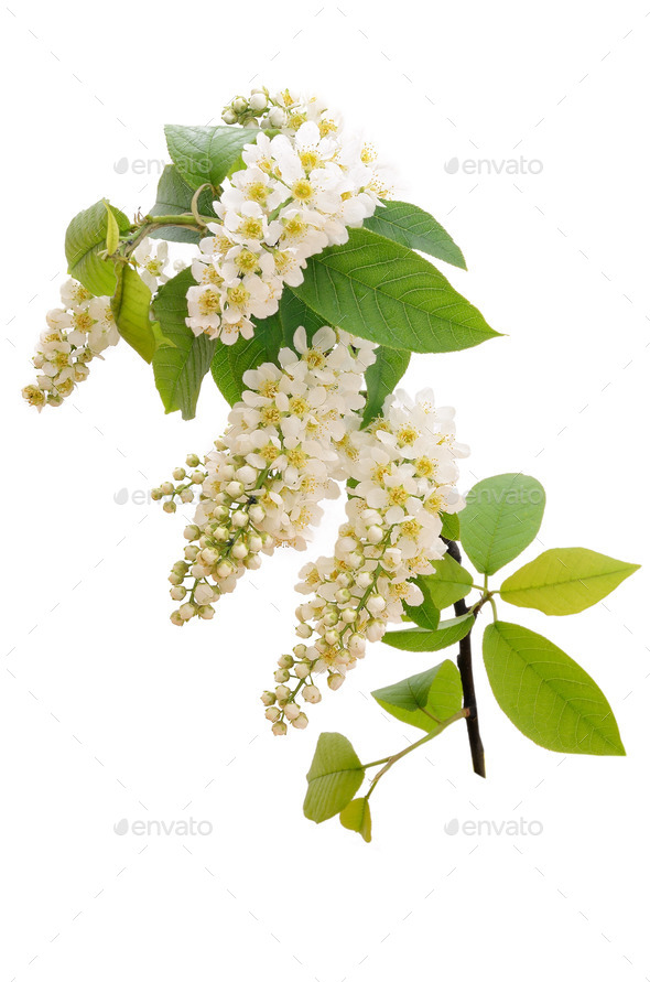 The Branch Of Bird Cherry Tree