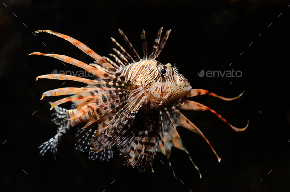 Red lion fish on black background - Stock Photo - Images