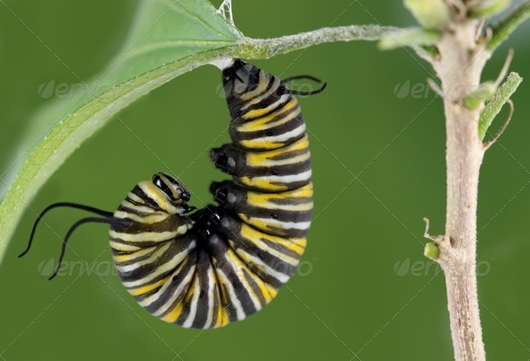 Monarch Caterpillar - Stock Photo - Images