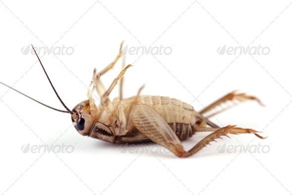 Dead Cricket - Stock Photo - Images