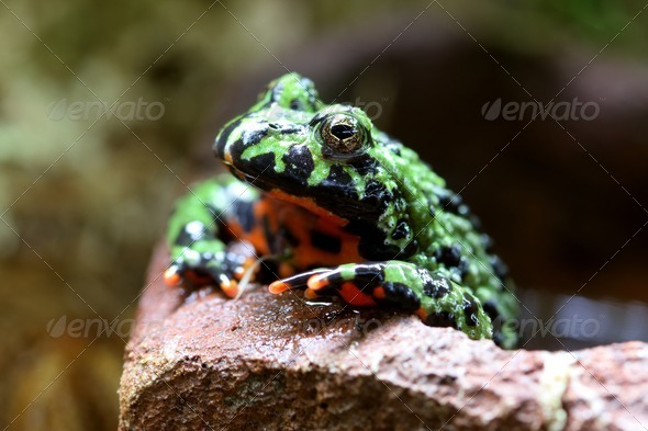 Fire Bellied Toad - Stock Photo - Images