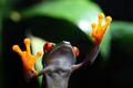 Tree Frog on glass - PhotoDune Item for Sale