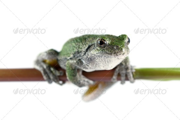 Gray Tree Frog - Stock Photo - Images