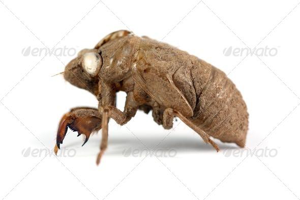 Cicada Shell - Stock Photo - Images