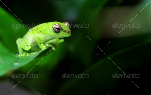 Spotted Emerald Glass Frog - Stock Photo - Images