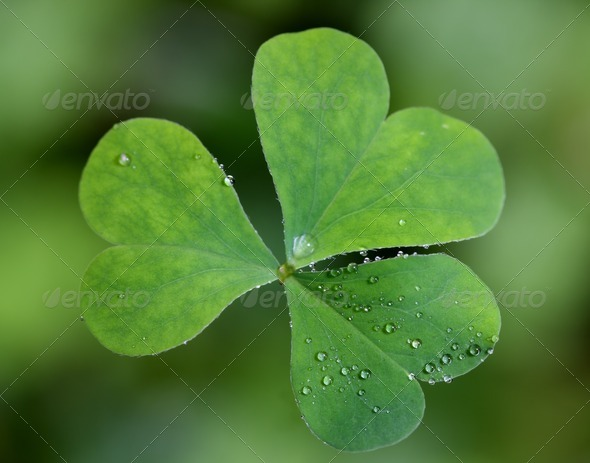 Fresh Clover - Stock Photo - Images