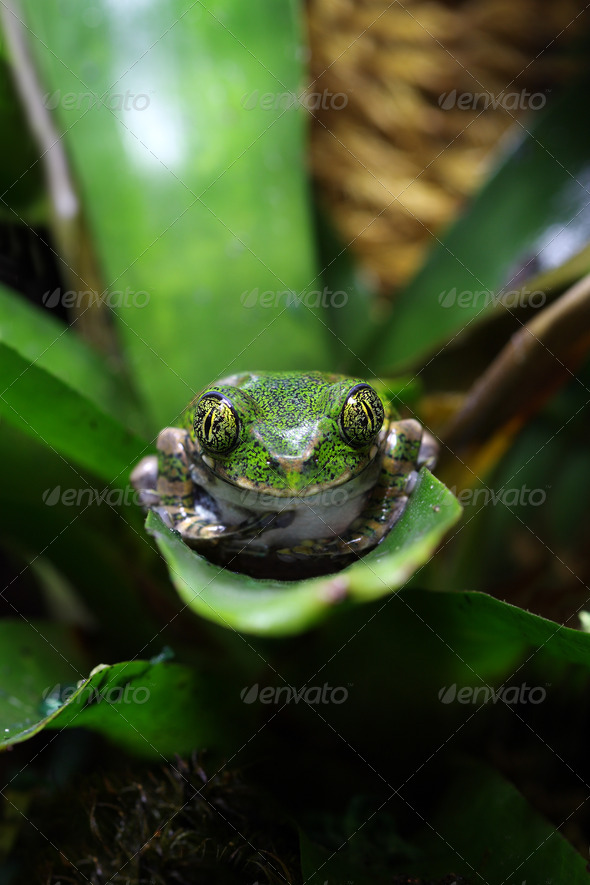 Peacock tree frog - Stock Photo - Images