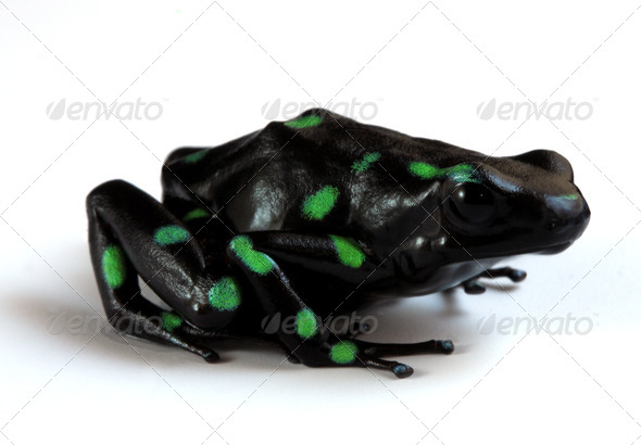 Poison Dart Frog - Stock Photo - Images