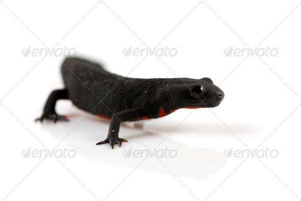 Fire Belly Newt - Stock Photo - Images