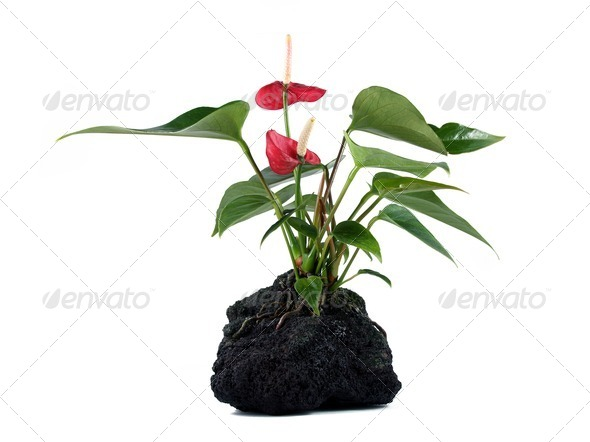 Lava Rock Plant - Stock Photo - Images