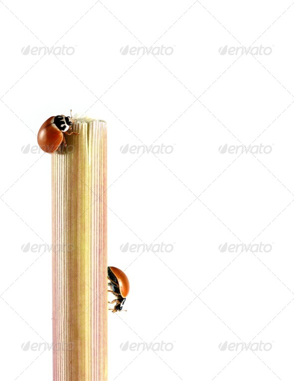 Ladybugs - Stock Photo - Images