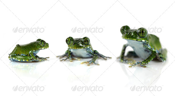 Peacock Tree Frogs - Stock Photo - Images
