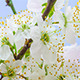 Wild Plum Flower Blossoming 1 - VideoHive Item for Sale