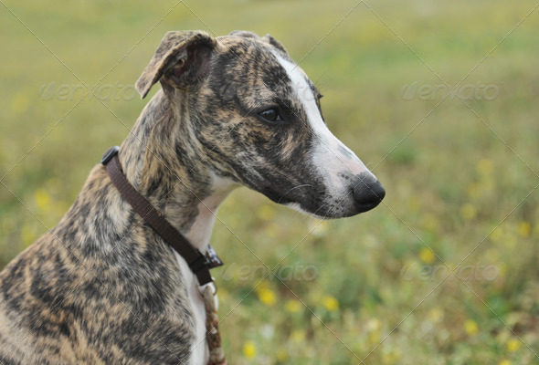 puppy whippet - Stock Photo - Images