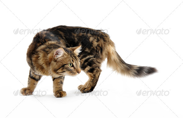 young norwegian cat - Stock Photo - Images