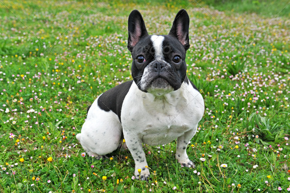 french bouledogue - Stock Photo - Images