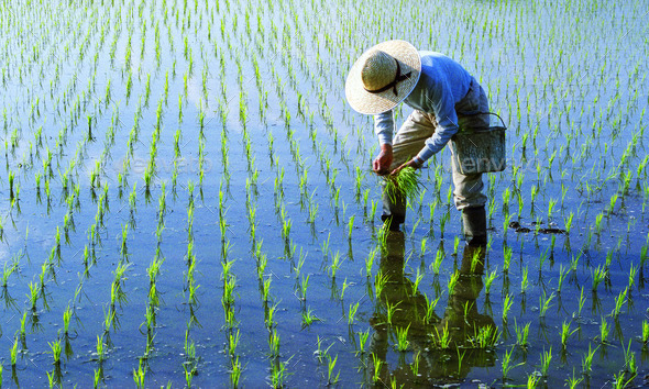 Japanese Farmer Tending The Rice Paddy - Stock Photo - Images