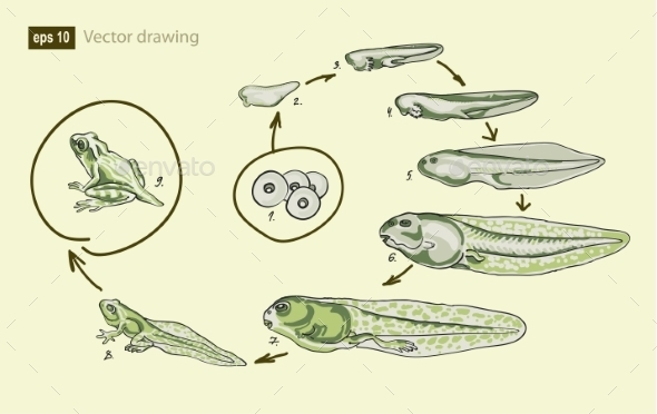 Vector Illustration of the Life Cycle of a Frog  - Flowers & Plants Nature
