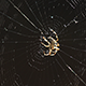 Spider in the Centre of His Web - VideoHive Item for Sale