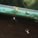 Spider Building A Web (x3 speed) - VideoHive Item for Sale