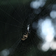 Close-up of Spider Finishing His Web - VideoHive Item for Sale