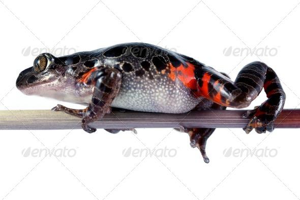 Tanzanian Tiger Leg Frog - Stock Photo - Images