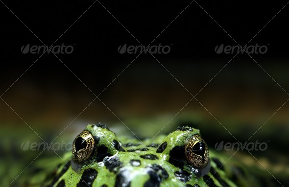 Peeking Frog - Stock Photo - Images