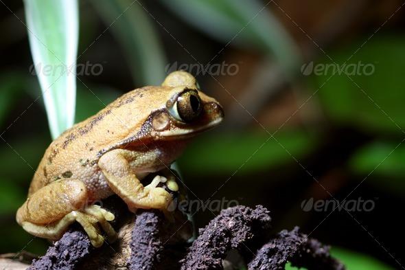 Big Eyed Tree Frog - Stock Photo - Images