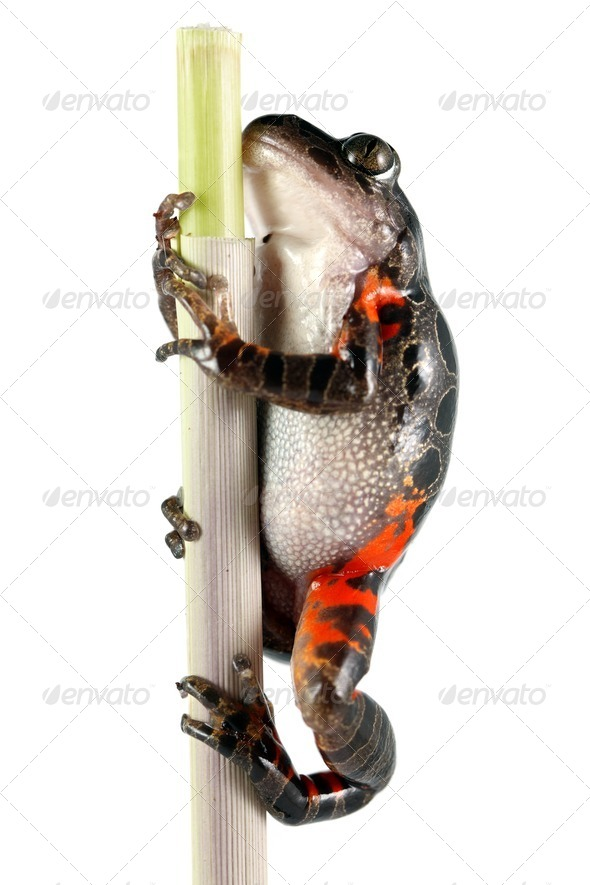 Tanzanian Tiger Leg Frog - Stock Photo - Images