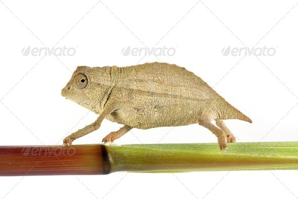 Pygmy Chameleon - Stock Photo - Images